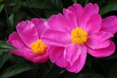 2 розовых пиона Стоковая Фотография