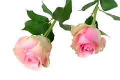 2 розовых розы Стоковые Изображения