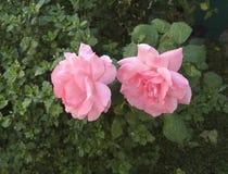2 розовых розы стоковое фото rf