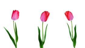 3 розовых тюльпана в ряд изолированного на белой предпосылке Стоковая Фотография RF
