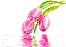 3 розовых тюльпана Стоковая Фотография RF