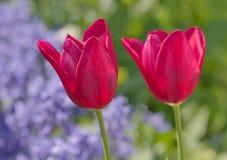 2 розовых tulps в саде Стоковые Фото