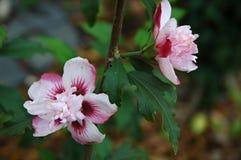 2 розов-белых цветка Стоковые Фотографии RF