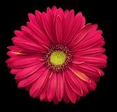 Розов-желтый цветок gerbera, чернит изолированную предпосылку с путем клиппирования closeup Отсутствие теней Для конструкции стоковое фото