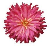 Розов-красный цветок на белой предпосылке изолированной с путем клиппирования closeup Стоковые Изображения