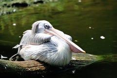 Розов-подпертый пеликан Стоковые Фото