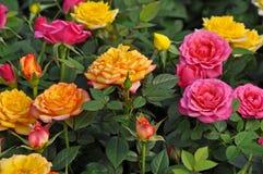 Розы апельсина, желтых и розовых миниатюрные Стоковые Фотографии RF