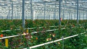 Розы большого парника producting для продажи акции видеоматериалы