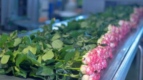 Розы будучи положенным на конвейерную ленту на заводе промышленного цветка сортируя сток-видео