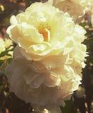 Розы вечера Стоковые Фотографии RF