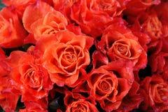 розы влажные стоковое изображение