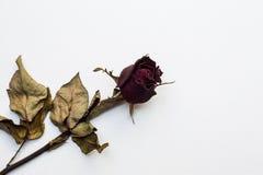 Розы вянут на белой предпосылке холста Стоковые Фото