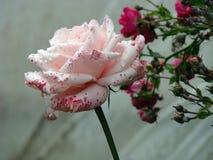 Розы в деревне около дома стоковые фотографии rf