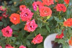 Розы в их сумерк стоковые изображения rf