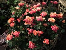 Розы в идти дождь день Стоковая Фотография