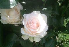 Розы в летнем времени - Париж, Франция стоковое изображение rf