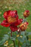 Розы в ноябре Стоковые Фотографии RF