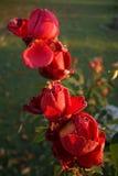 Розы в ноябре Стоковая Фотография RF