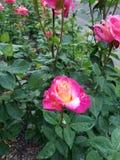 Розы в Портленде Орегоне testgarden rosegarden пинк стоковое фото rf