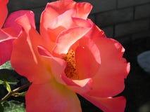 Розы в разнообразии floribunda сада Калифорния стоковое фото rf