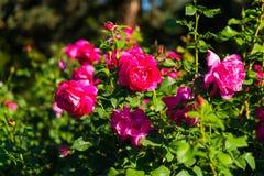 Розы в розариях стоковое изображение rf