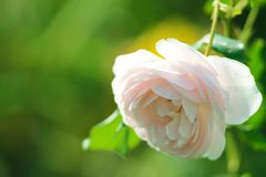 Розы в саде Стоковые Фото