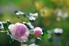 Розы в саде Стоковое фото RF