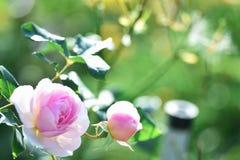 Розы в саде Стоковое Фото