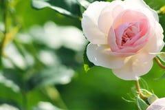 Розы в саде Стоковое Изображение