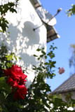 Розы в свете солнца Стоковое фото RF