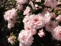 Розы в утесах стоковое изображение