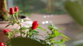 Розы в цветочном горшке видеоматериал