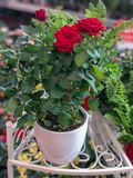 Розы в цветочных горшках Фокус естественного света селективный Стоковое Изображение RF