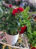 Розы в цветочных горшках Фокус естественного света селективный Стоковое Изображение