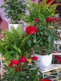 Розы в цветочных горшках Стоковые Фотографии RF