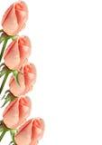 розы граници Стоковая Фотография