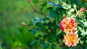 Розы, длинное знамя ширины Флористическая предпосылка лета или весны с красным и оранжевым цветком с космосом экземпляра для текс стоковая фотография