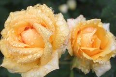розы дождя Стоковое Изображение RF
