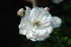 Розы, деталь белого цветка Стоковая Фотография RF