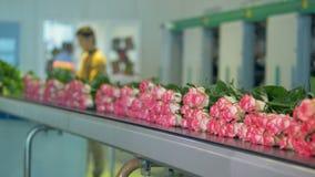 Розы занятого работника сортируя и нагружая в запачканной предпосылке акции видеоматериалы