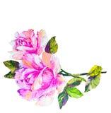 Розы изолированные на белизне, картине маслом Стоковое Фото