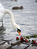 Розы и лебедь Стоковая Фотография RF