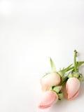 розы карточки предпосылки маленькие розовые Стоковые Фото