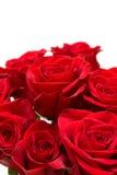 розы красного цвета пука Стоковые Изображения RF