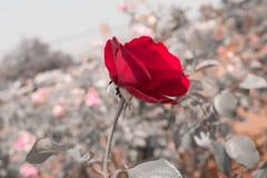 розы красного цвета сада Стоковые Фотографии RF