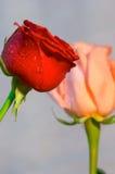 розы красного цвета dof сливк стоковое фото rf