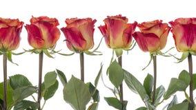 розы Красно-апельсина в ряд стоковые изображения
