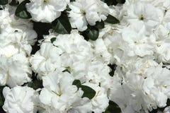 розы кровати белые Стоковая Фотография RF