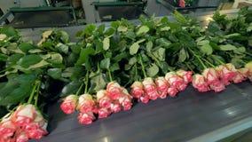 Розы лежа в сериях и тряся во время транспорта транспортера акции видеоматериалы