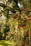 розы мха испанские стоковые изображения rf